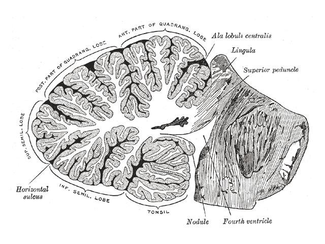 小脳の断面図