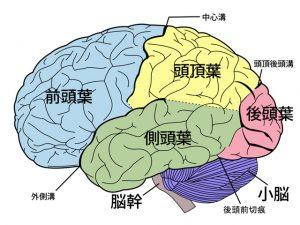 大脳の構造